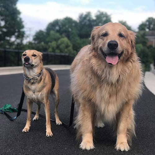 Two Dogs after Drop In Dog walk visit